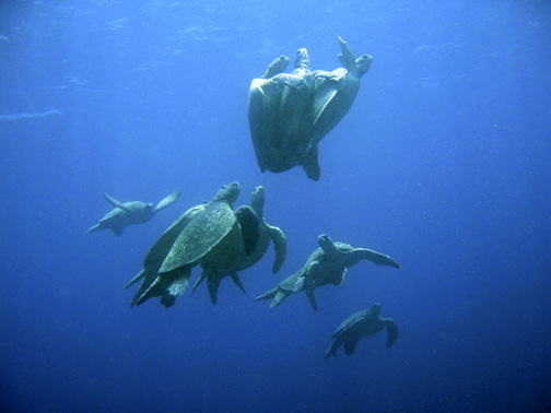 https://www.deepseanews.com/wp-content/uploads/2009/05/greenturtles_mating_med.jpg
