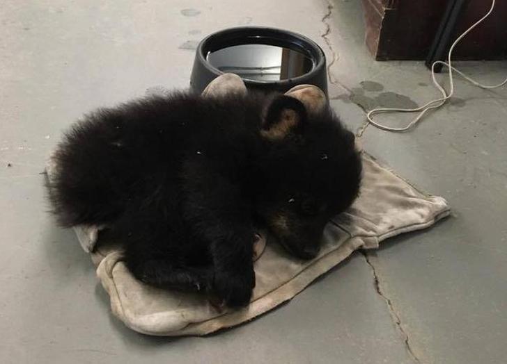 Четвертый медвежонок был слишком слаб… он не смог угнаться за своей семьей