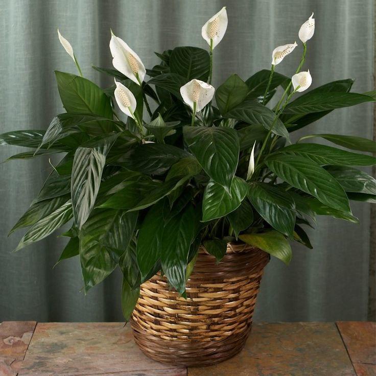 Растение спатифиллум: Как ухаживать правильно