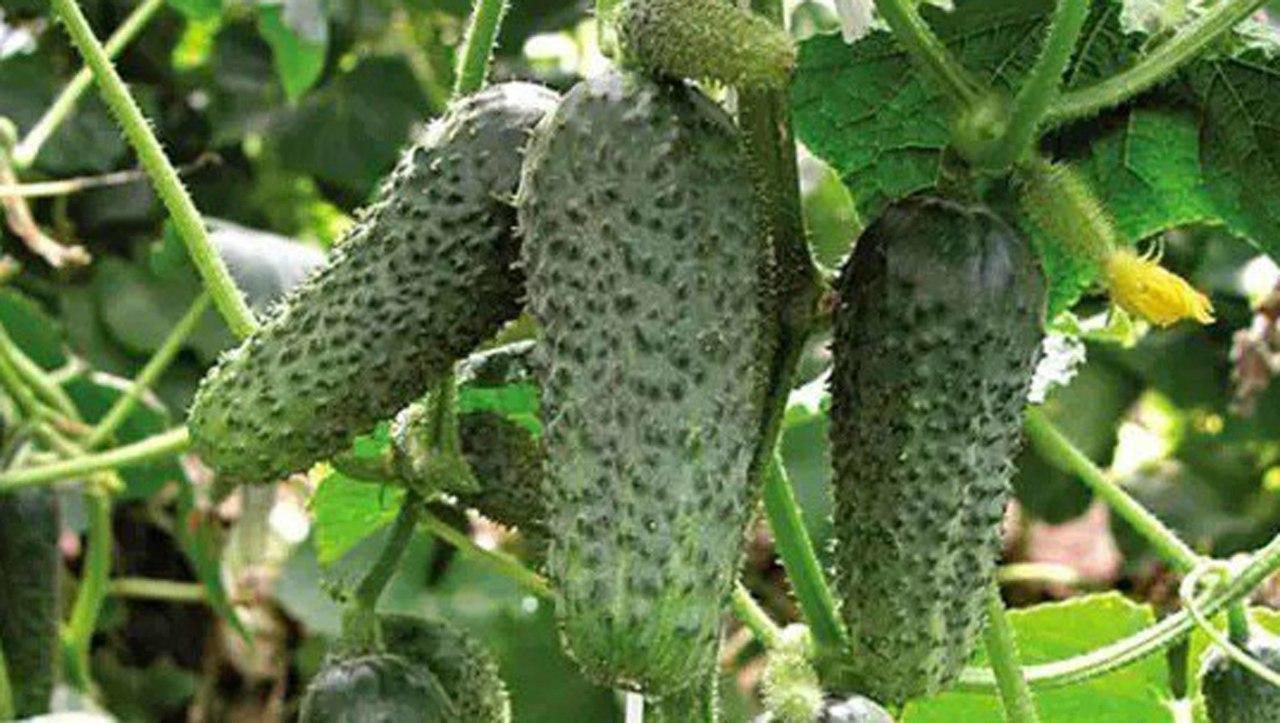 Огурцы в АВГУСТЕ. Как подкормить. Боремся от мучнистой росы. Сбор урожая. Подробнее смотрите видео здесь