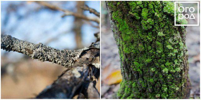 Лишайник и мох на дереве