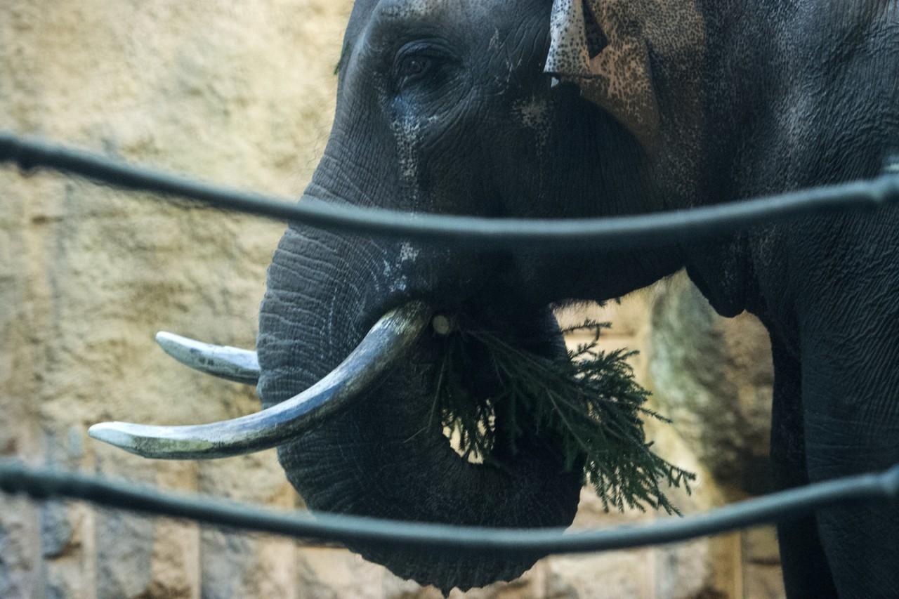 Не мусор, а деликатес: в Московском зоопарке новогодние ёлки скормили слонам