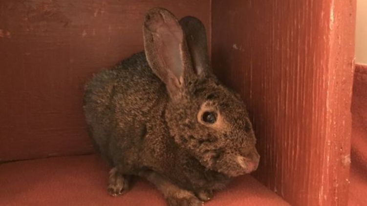 Салат, капуста и морковь. Спасенный из огня в Калифорнии одинокий кролик пошел на поправку