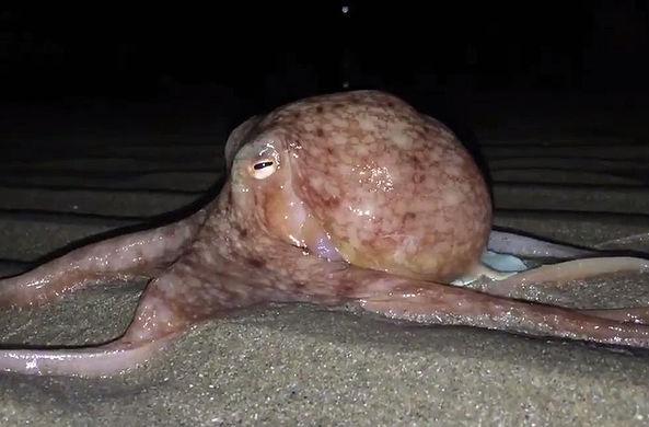 Осьминоги по неизвестной причине массово выползли на британский берег