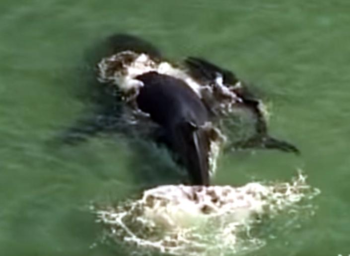 В Австралии китенок спас маму, застрявшую на песчаной отмели