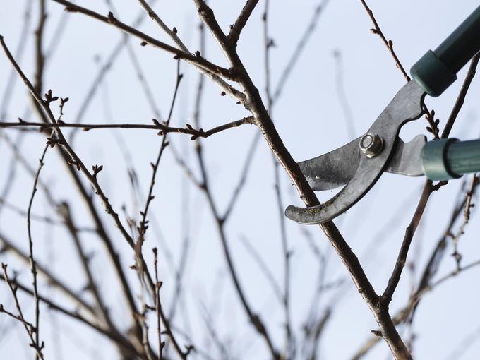 Зимняя обрезка плодовых деревьев: 4 основных правила