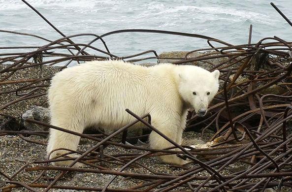 Белые медведи осадили деревню на Чукотке и сорвали дискотеки