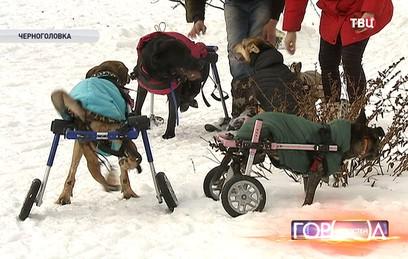 В Подмосковье в приюте для собак-инвалидов пес катается на лыжах
