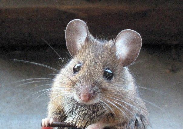 Мыши вполне способны нанести вред вашему дому.  Недооценивать мышей не...