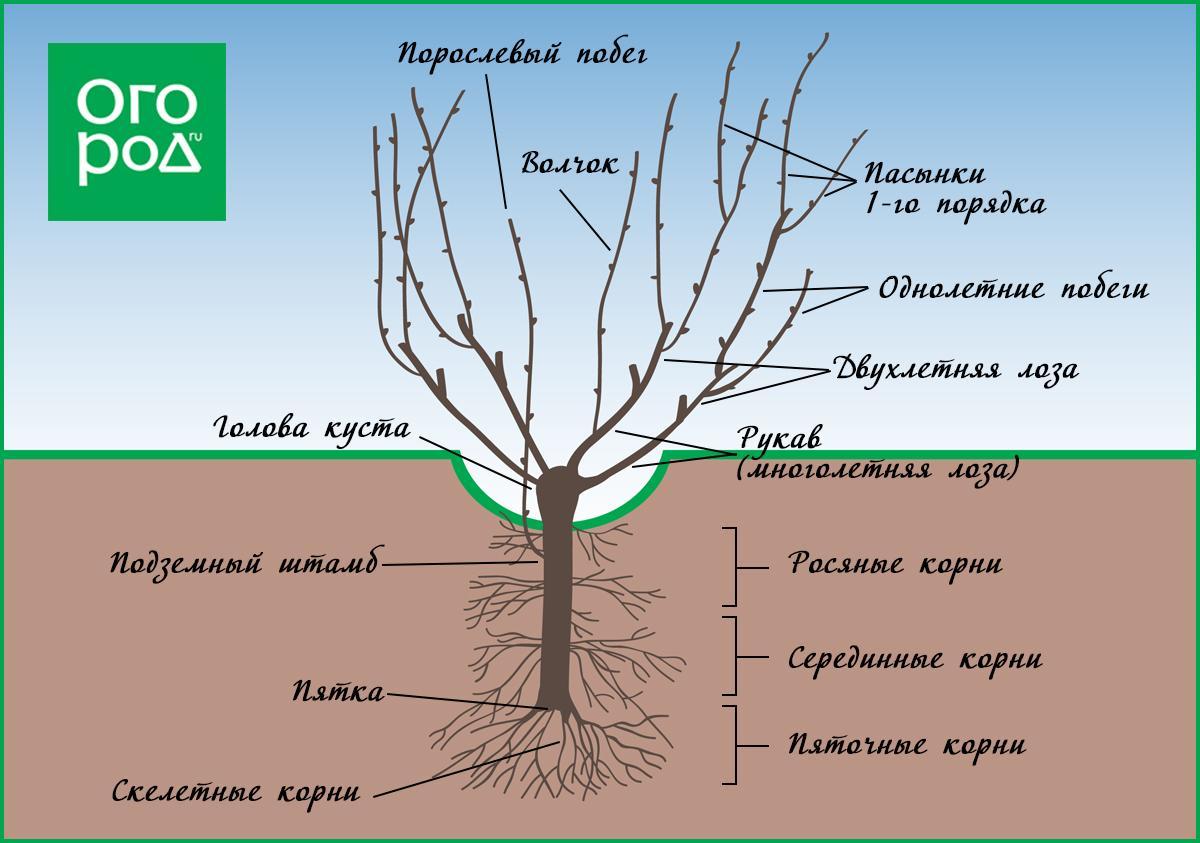 Выращивание винограда и обрезка 768