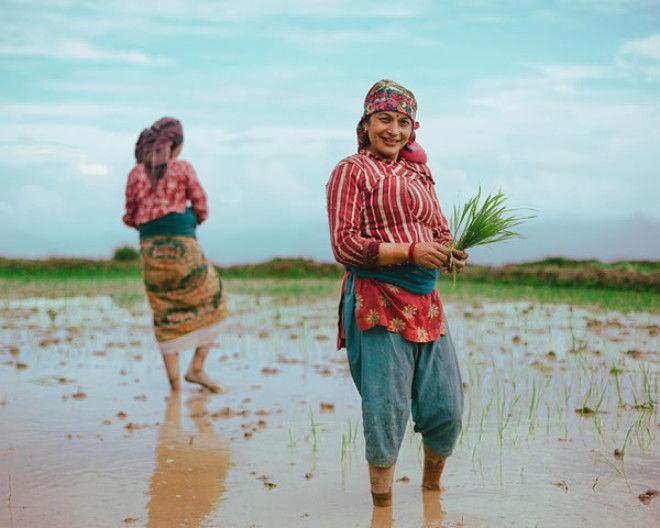 Непальские фермеры, выращивающие рис – Покхара