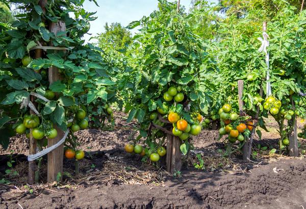 И без рассады растут томаты