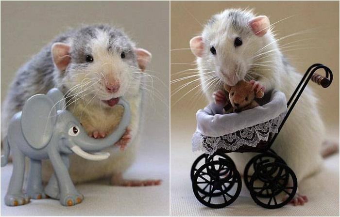 Мыши-компаньоны: 23 фотографии маленьких грызунов