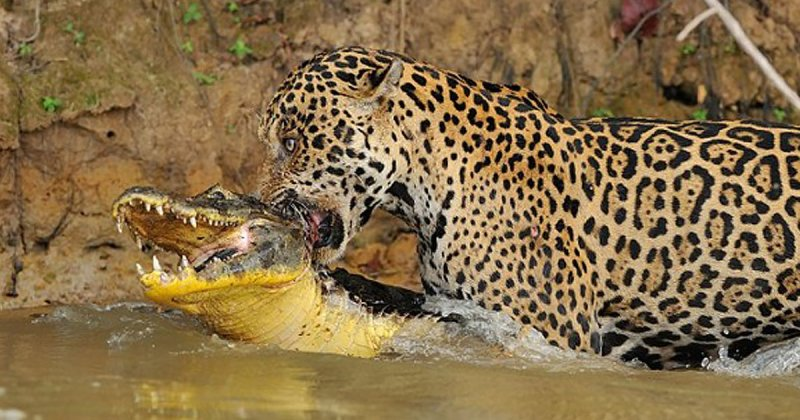 Когда хищник стал добычей: невероятные кадры битвы в бразильской реке