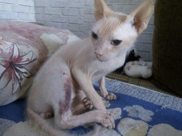 """Кто-то избил этого беззащитного зверя без шерсти и выбросил на улицу! Хозяева говорят, что у них """"никогда не было кота"""""""
