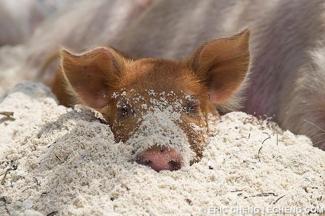 Пляж свиней, фото Эрик Ченг (Eric Cheng)