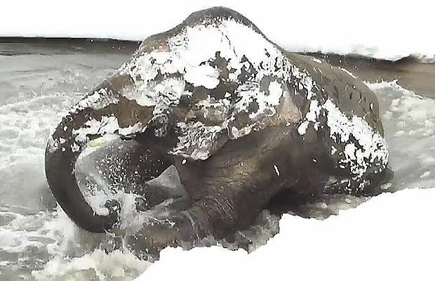 Восьмилетний азиатский слон …