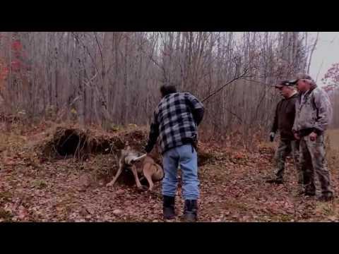 Охота- волк попался в капкан