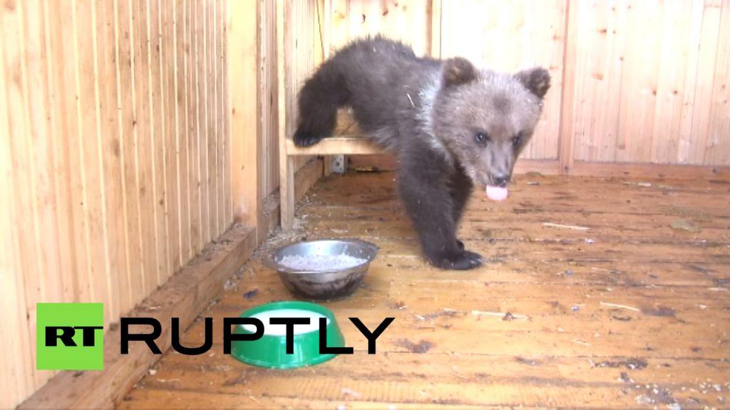 Добрая семья спасла медвежонка от голодной смерти. Только посмотрите на него сейчас