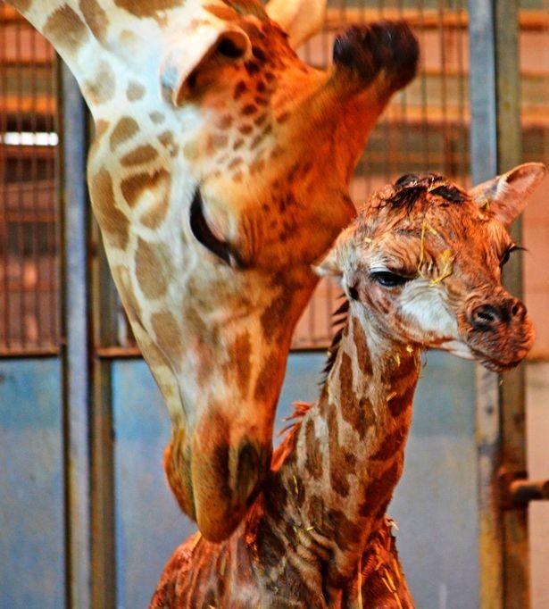Брошенный жирафёнок вместе с приёмной мамой. Фото: ©CEN/Bioparc Valencia