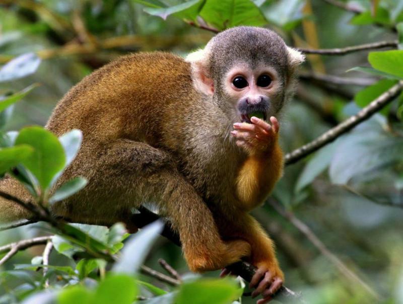 Обезьяны 9 дней кормили туриста, заблудившегося в джуглях Амазонки обезьяны, турист