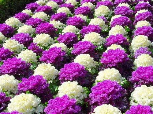 Декоративные цветы для дачи