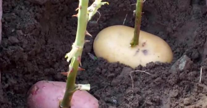 Розы в картошке видео
