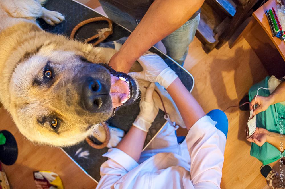 Недобровольное донорство: донорство у кошек и собак