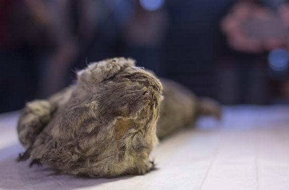 В Якутии найден прекрасно сохранившийся пещерный львенок