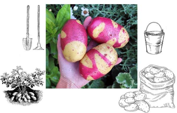 Пятнистый картофель
