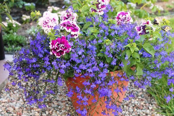 Лобелия ампельная цветок