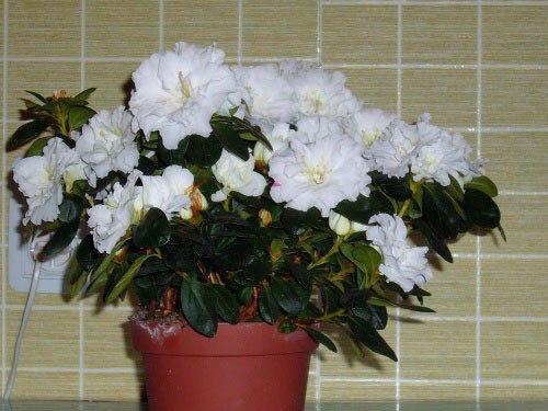 Гардения - жасминовая красавица