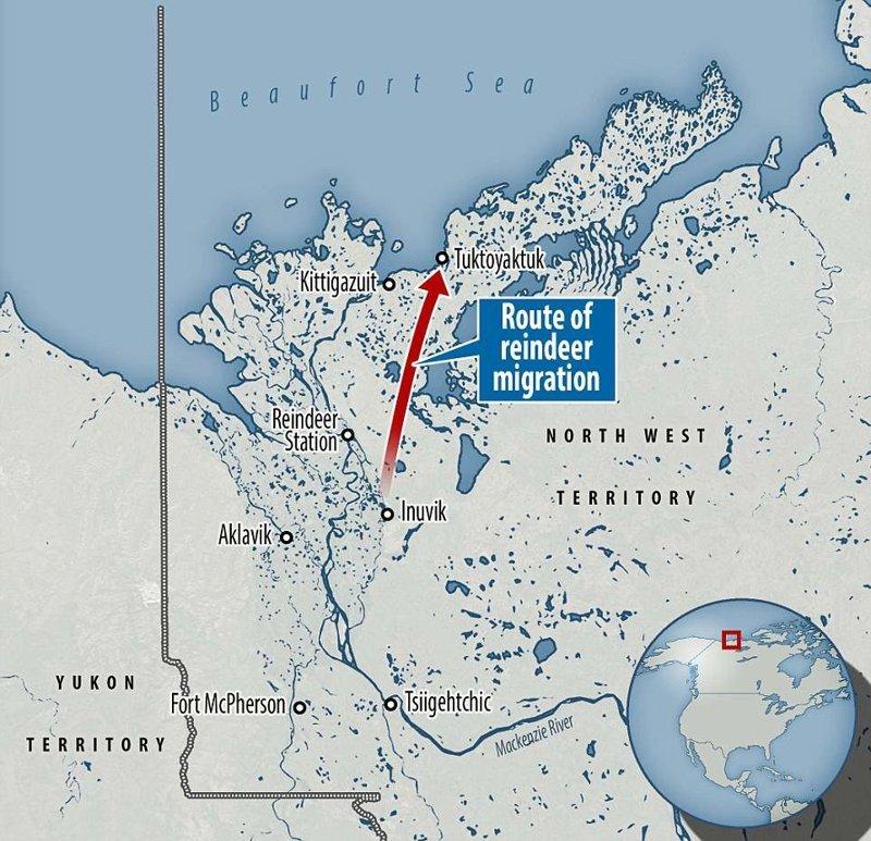 Путь животных лежит от озера Джимми, неподалеку от города Инувик, до диких просторов тундры у деревни Тактояктук животные, канада, миграция, мир, олень, природа, фотография