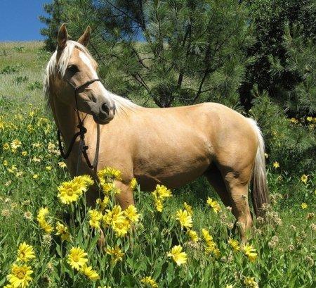 Фото лошади соловой масти