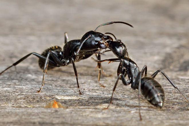 черные муравьи в квартире