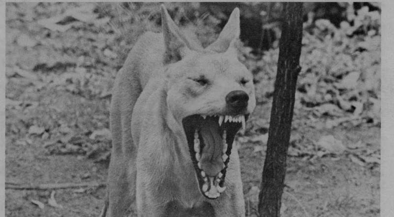 Дикая собака динго и пропавший младенец дикая природа, загадки, истории, исчезновения, мистика, пропавшие, путешествия, тайны