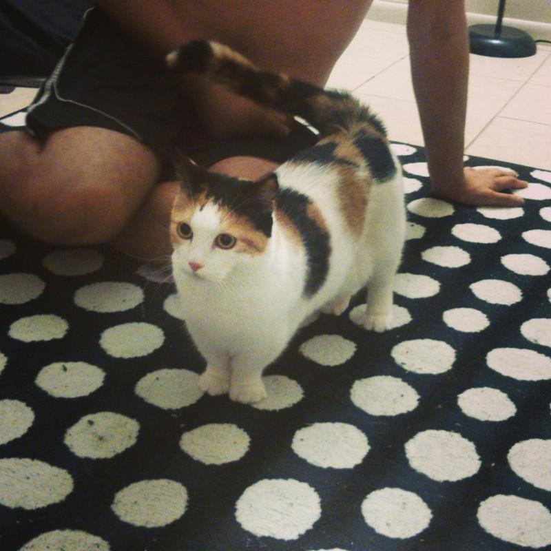 9. Короткие лапы не препятствуют подвижности  животные, кошка, манчкин