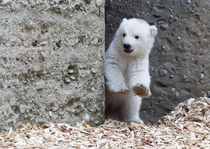 Белый медвежонок сделал первые шаги и сразу же покорил весь мир своим поведением