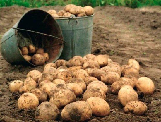 Посадка и уборка картофеля