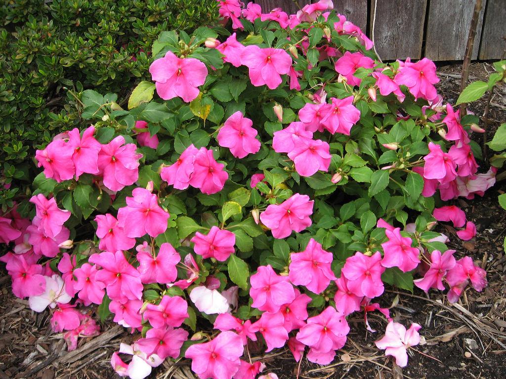 Лепестки цветка бальзамин розового цвета