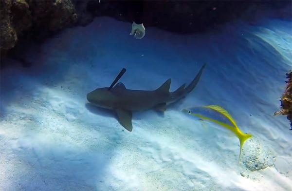 Инструктор по дайвингу спас акулу, вытащив у нее из головы 30-сантиметровый нож