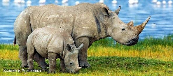 Носорог — второе по размеру наземное животное после слона