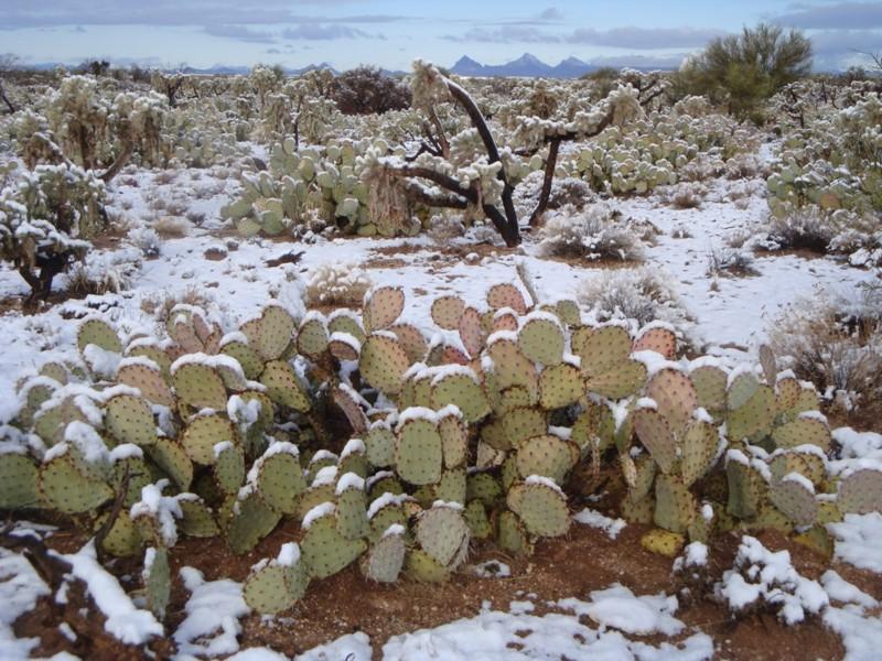 На мотив известной песни: Кактусы в снегу, какое чудо… зима, мир, снег, юмор