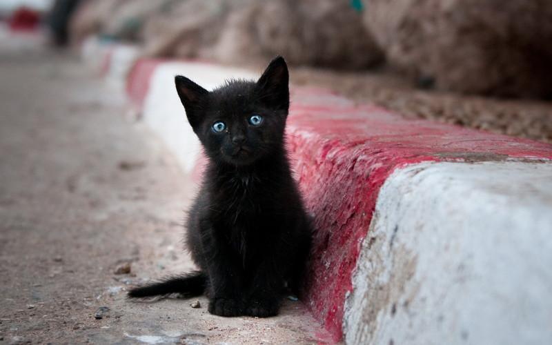 Асим война, история, коты