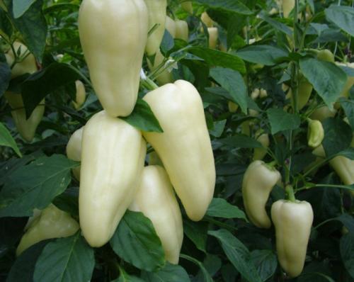 Перец сладкий «Белозерка»: неприхотливый со множеством достоинств