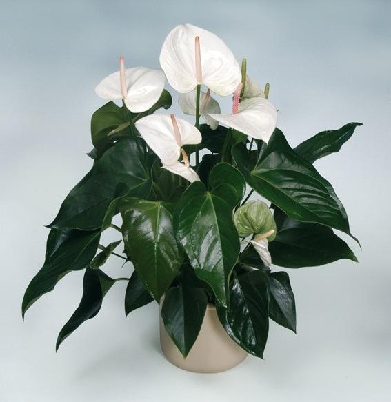 Антуриум с белым цветком