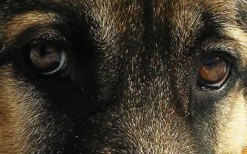 """Universal отменила премьеру """"Собачьей жизни"""" из-за появления в сети видео жестокого обращения с овчаркой"""