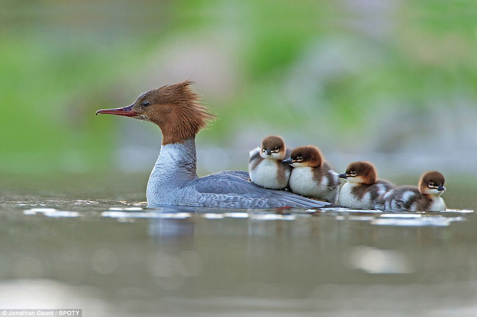 Catching a lift: Jonathan Gaunt from Kelso snapped this picture of a female goosander with her newly hatched brood