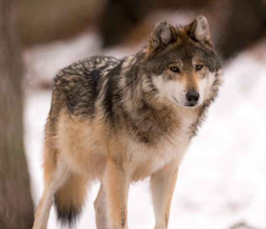 Волки и «основной закон охоты»