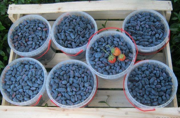Жимолость: 7 советов для большого урожая